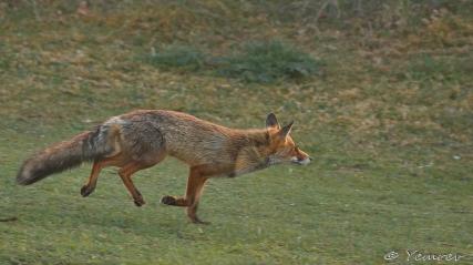 Fox on the run 1
