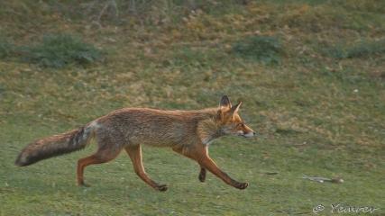 Fox on the run 2