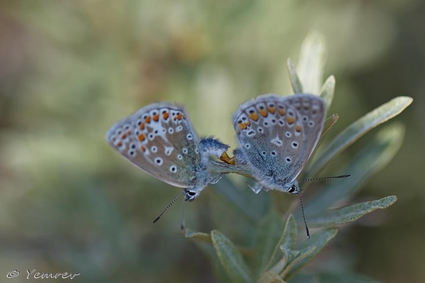 Parende Icarusblauwtjes