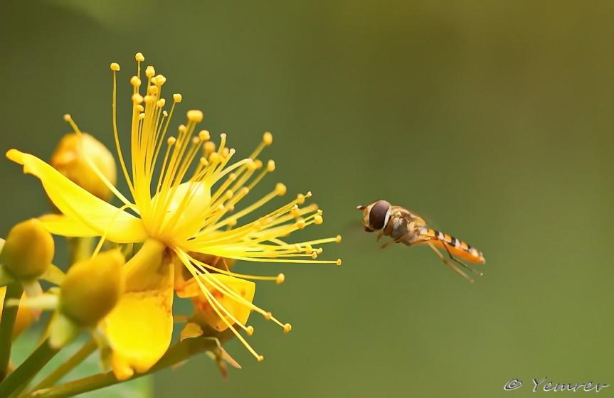 Pyamazweefvlieg uit eigen tuin