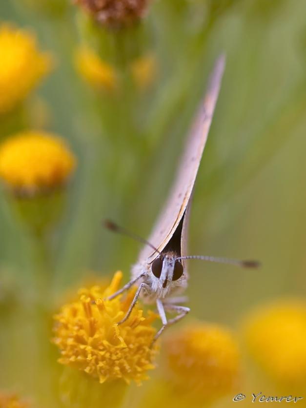 Kleine Vuurvlinder frontaal