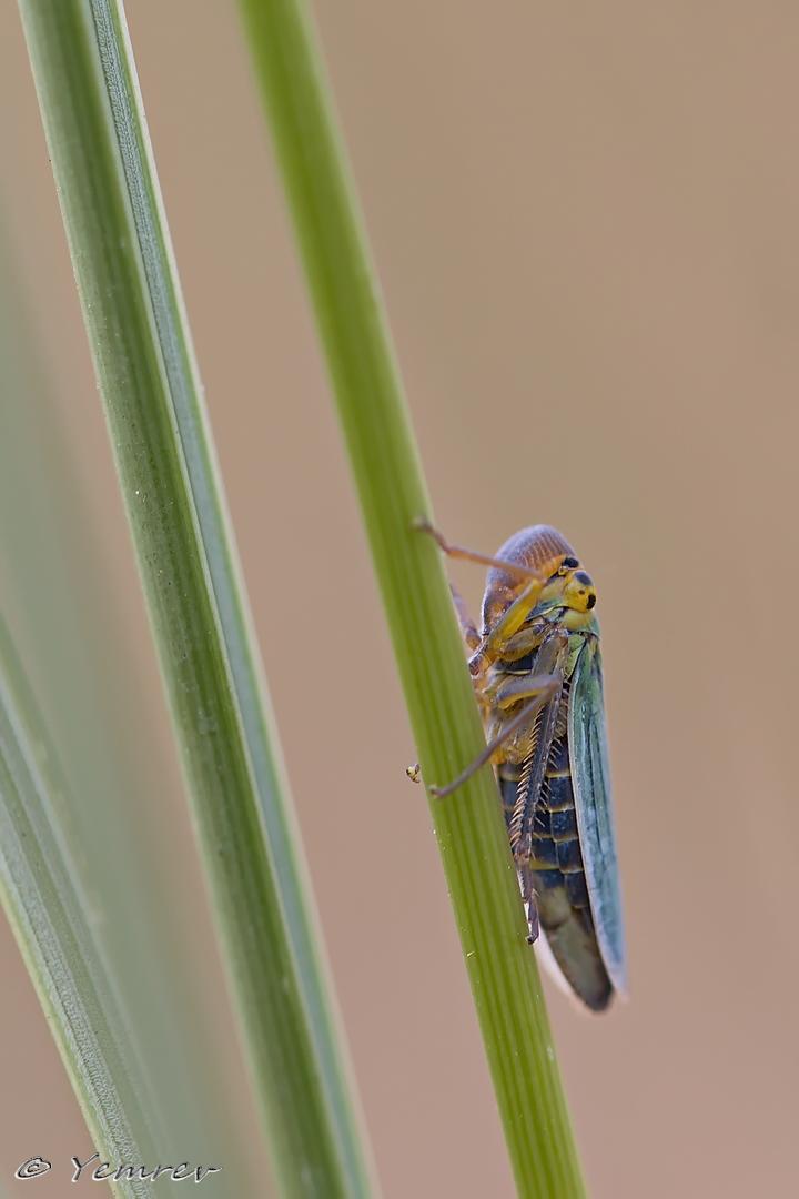 Blauwe Groene Rietcicade (mannetje)