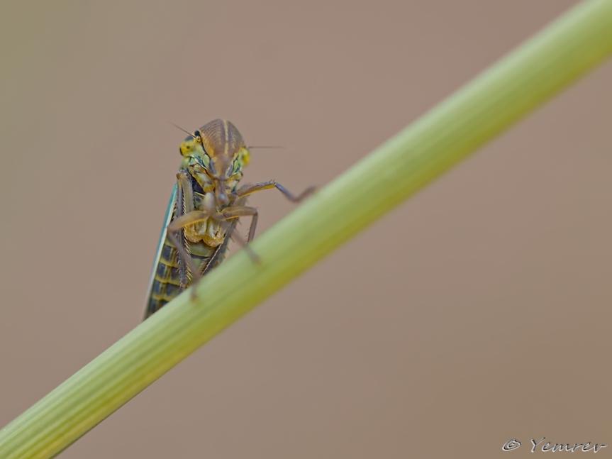 Nieuwsgierige rietcicade