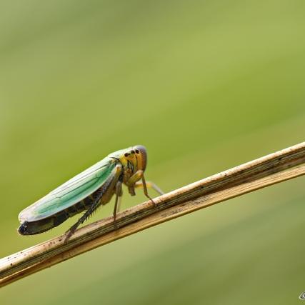 Vrouw Groene Rietcicade