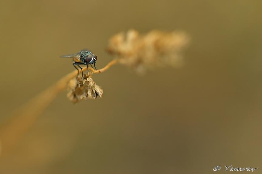 Vlieg op grashalm