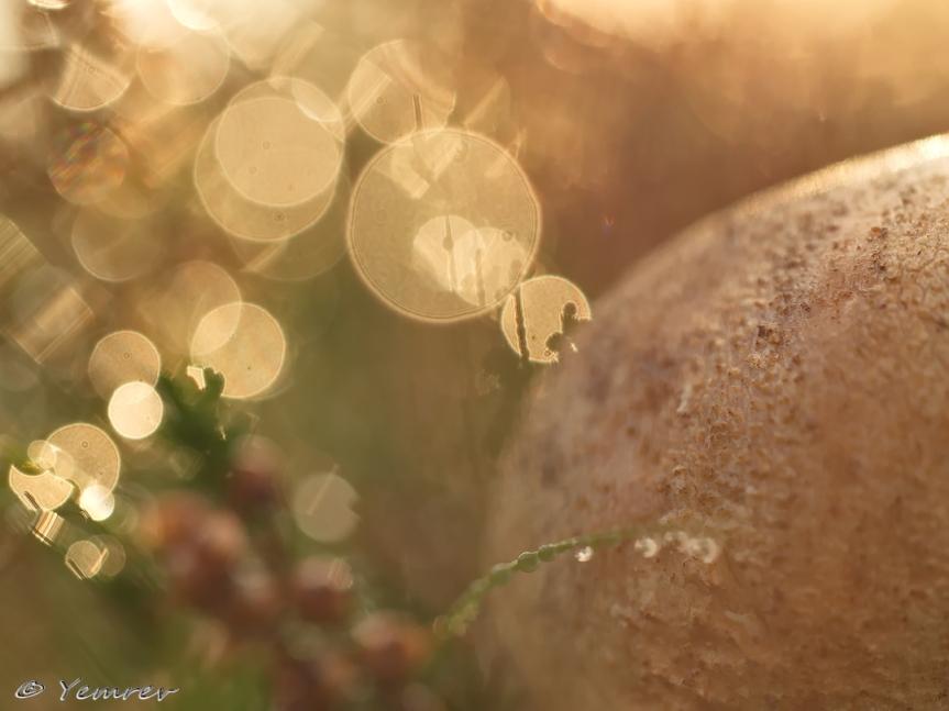 Aardappelbovist tussen de hei
