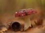 Rode Russula
