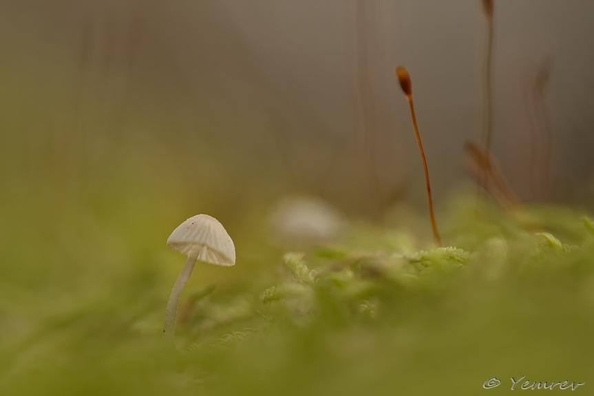 Mycena in het mos