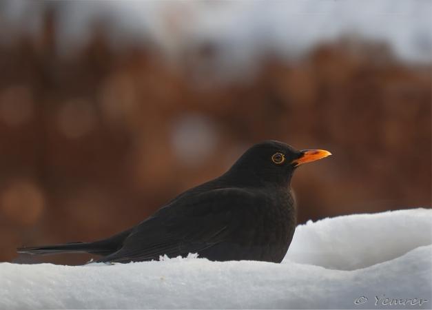 Man Merel in de sneeuw