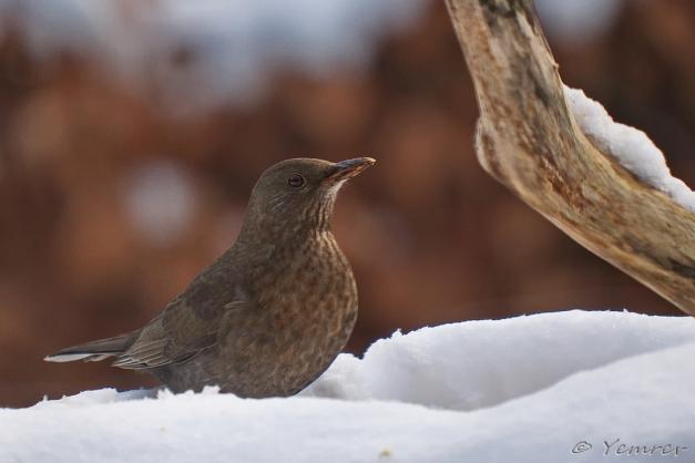 Vrouw Merel in de sneeuw