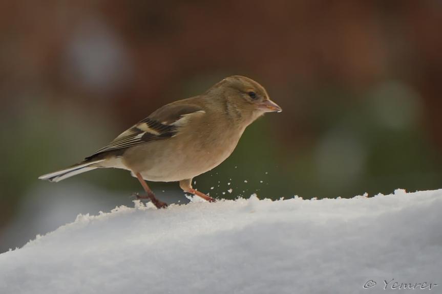 Vrouw Vink in de sneeuw