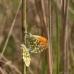 Oranjetipjes