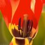 Binnenwerk van een tulp