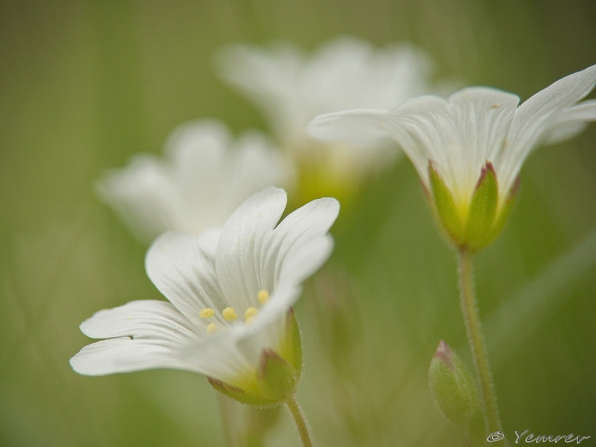 Akkerhoornbloemen