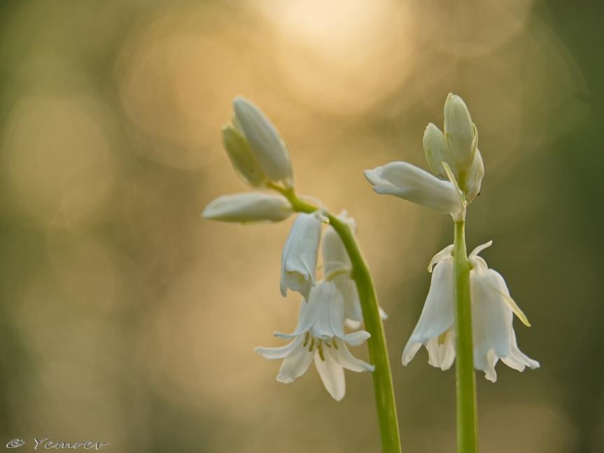 Witte boshyacinten