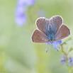 Icarusblauwtje (v)