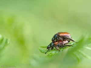 Rozenkevers