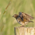 Graspieper leert vliegen