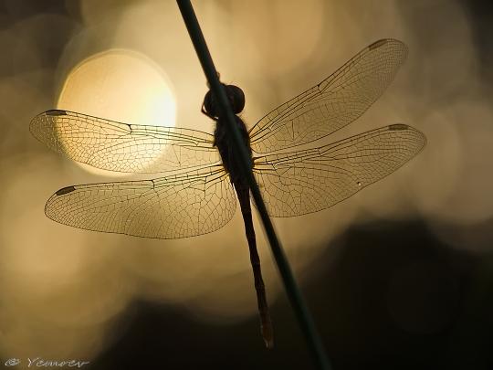 Heidelibel in ochtendzon