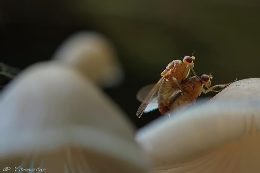 Zwammenvliegen