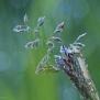 Blingbling gras