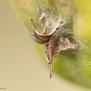 Appelkroontje