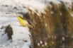 10 Grote Gele Kwikstaart