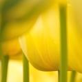 09 Gele tulpen