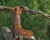 Onderzoekende Eekhoorn