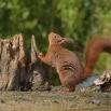 Eekhoorn in startpositie