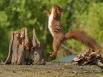 Springende Eekhoorn
