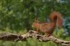 Eekhoorn geland