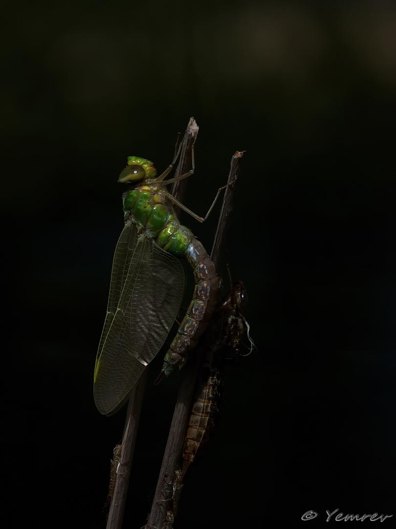 Uitsluipende Grote Keizerlibel