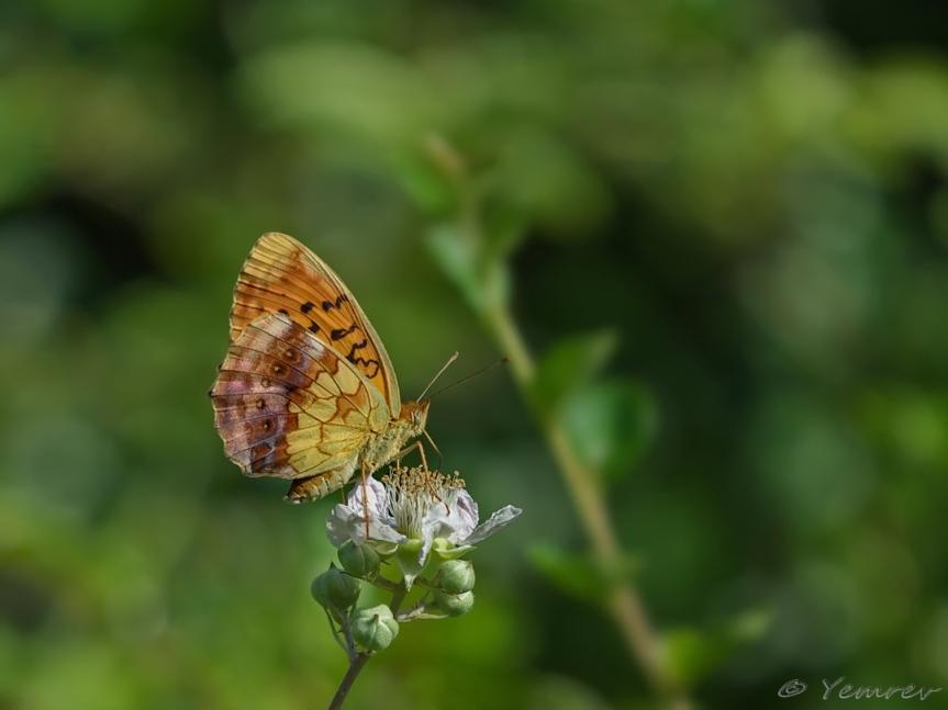 Braamparelmoervlinder