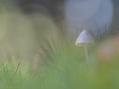 Mycena tussen mos