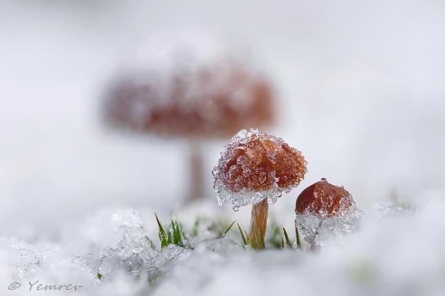 Sneeuwzwammetjes