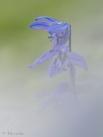 Oosterse Sterhyacint