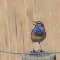 Blauwborst