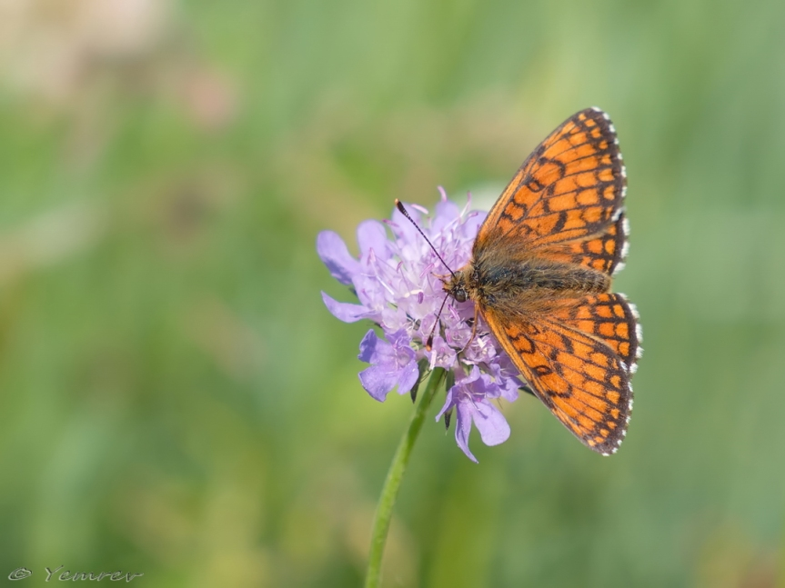 Onbekende parelmoervlinder