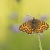Westelijke parelmoervlinder