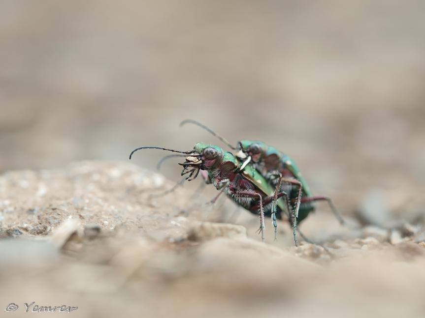 Groene Zandloopkevers