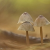 WaterleidingMycena's