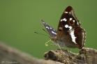 Grote Weerschijnvlinder in de Elzas