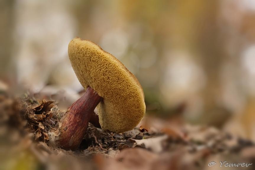Roodsteelfluweelboleet (s.l.)