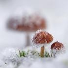 Paddestoelen in de sneeuw.
