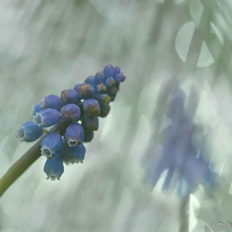 03 Blauwe Druifjes