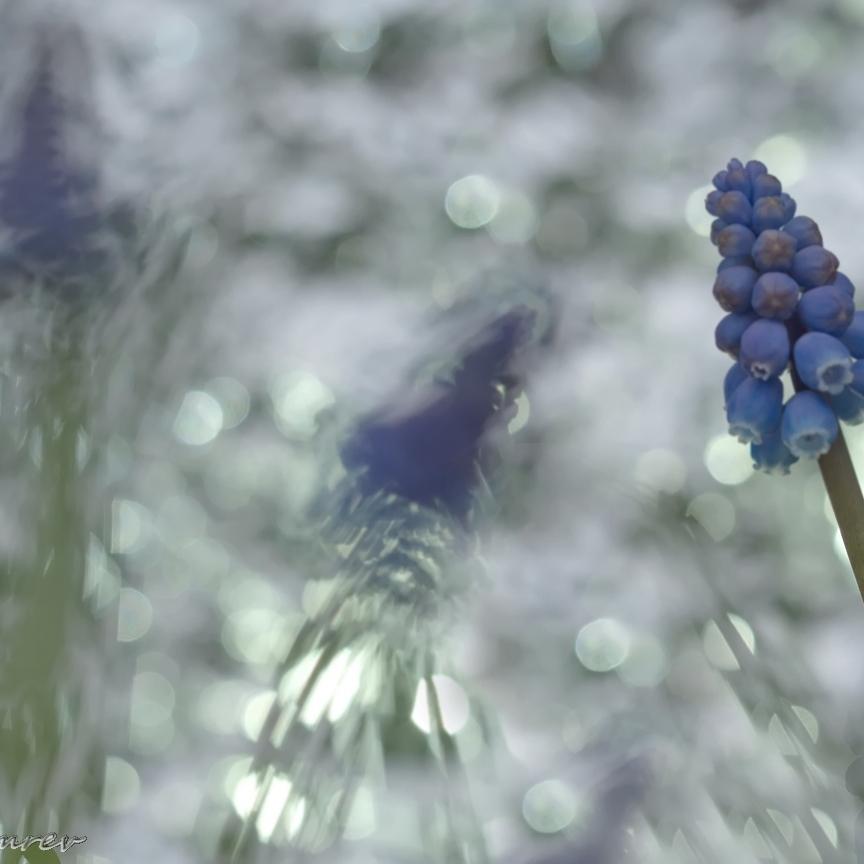 02 Blauwe Druifjes
