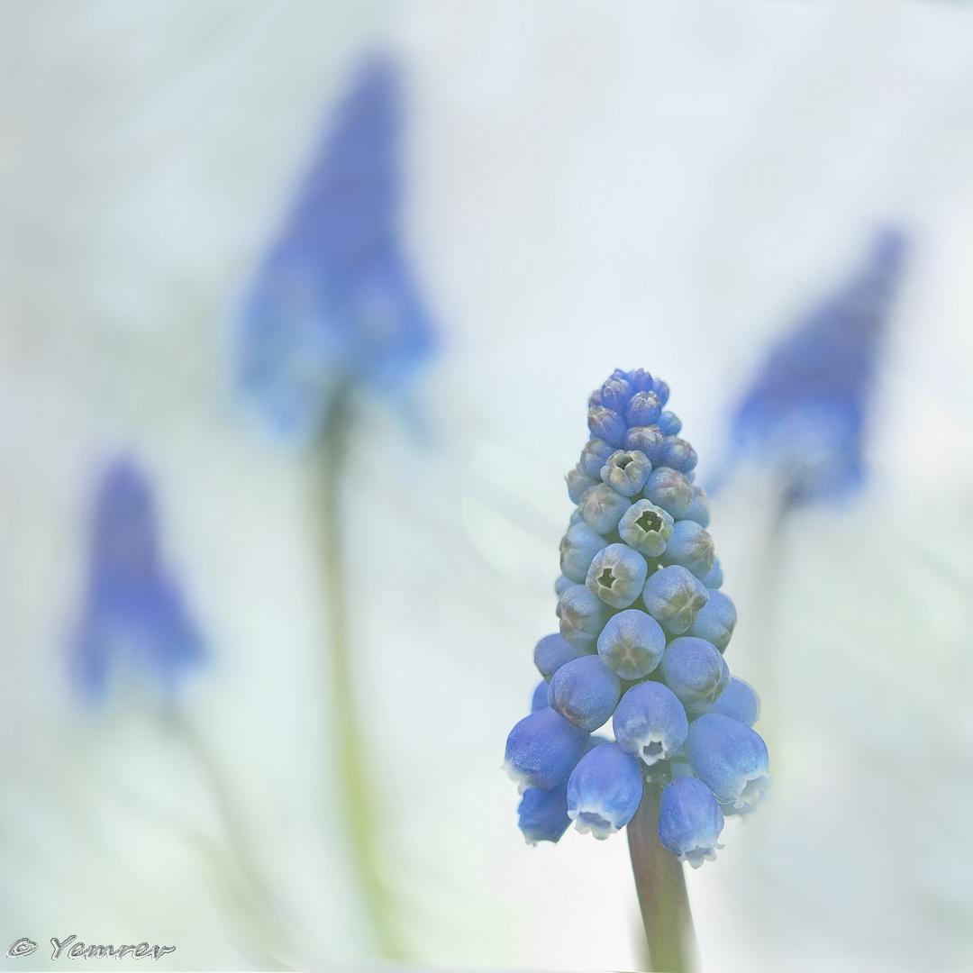 04 Blauwe Druifjes