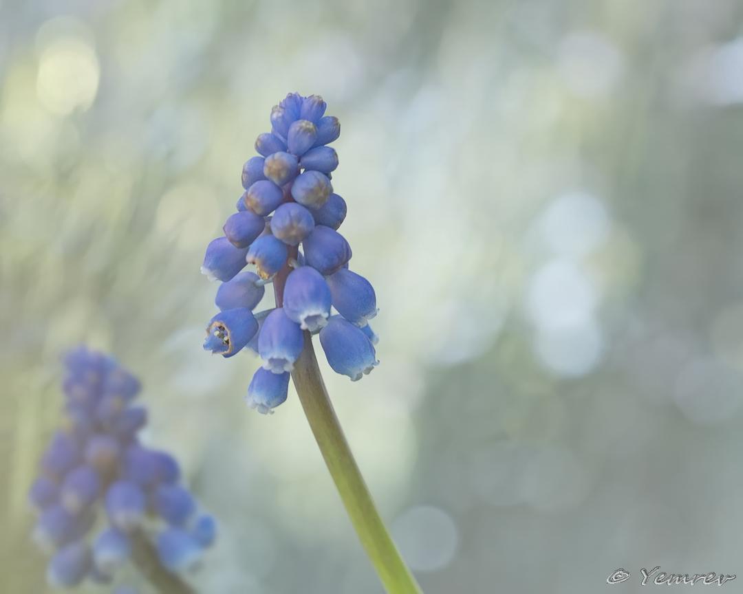 07 Blauwe Druifjes