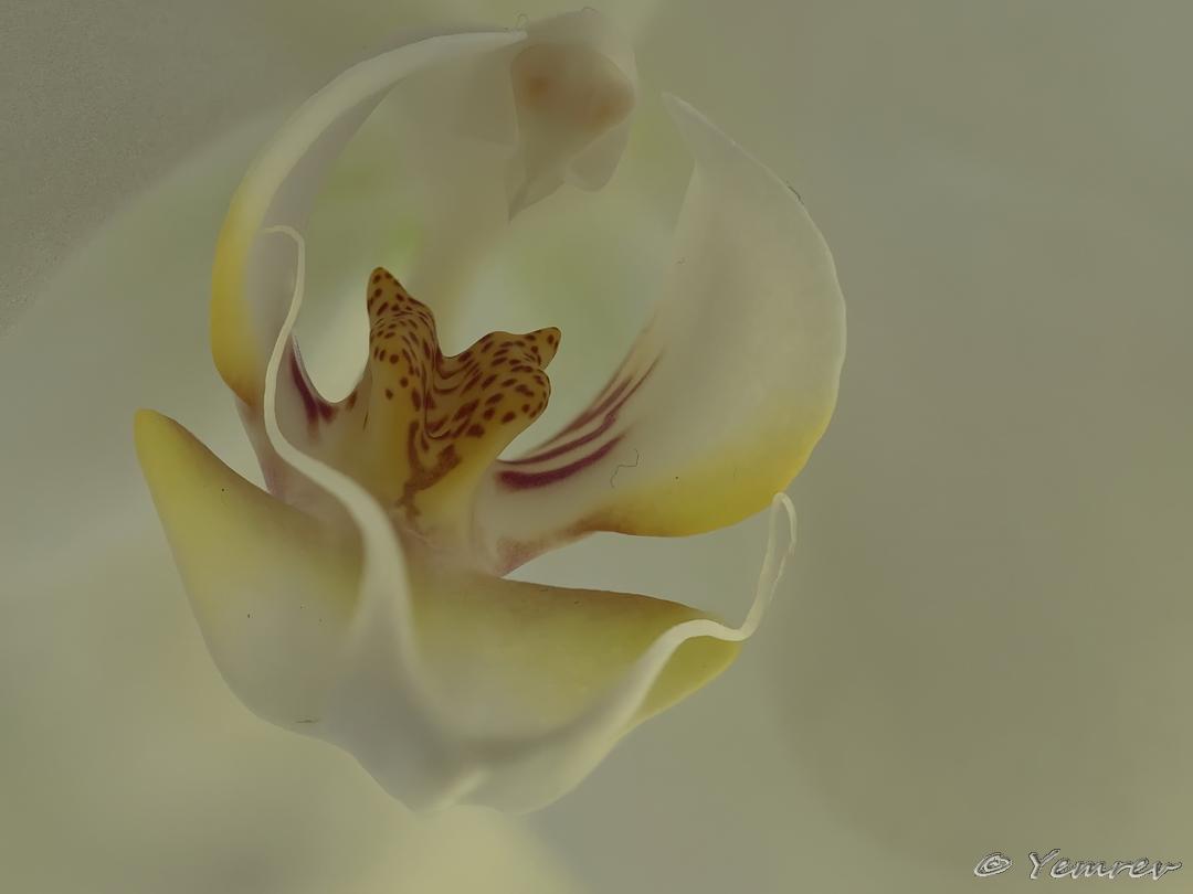 10. Orchidee